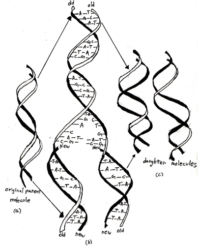 Dna Strand Drawing