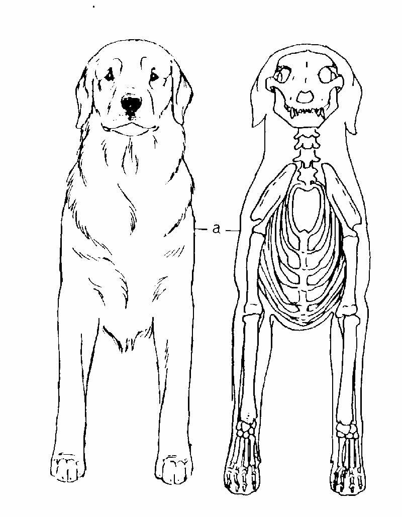 Famous Dog Anatomy And Physiology Ensign - Anatomy Ideas - yunoki.info