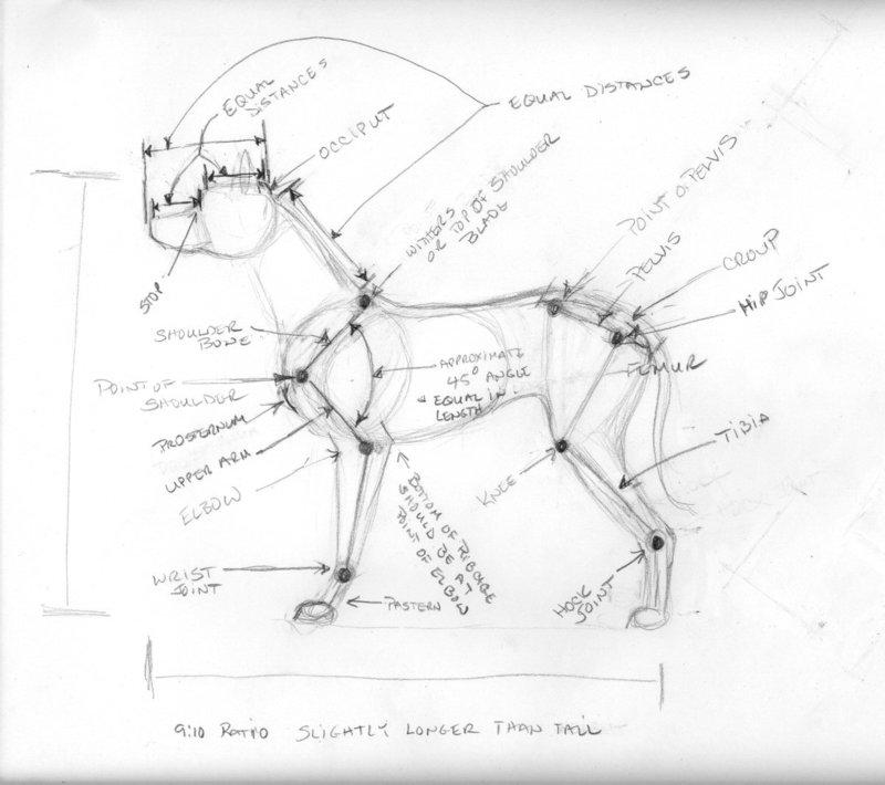 Dog Anatomy Drawing At Getdrawings Free For Personal Use Dog