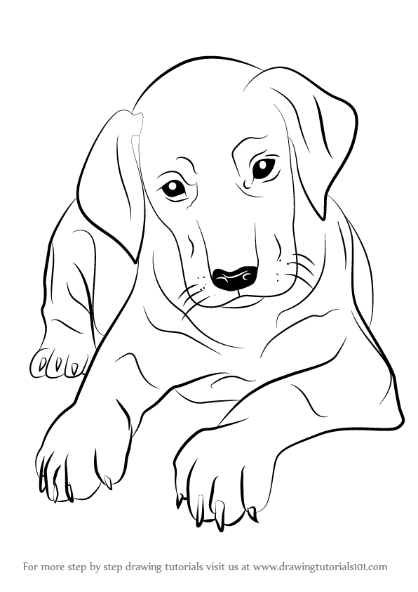 596x843 Learn How To Draw Doberman Puppy (Dogs) Step By Step Drawing