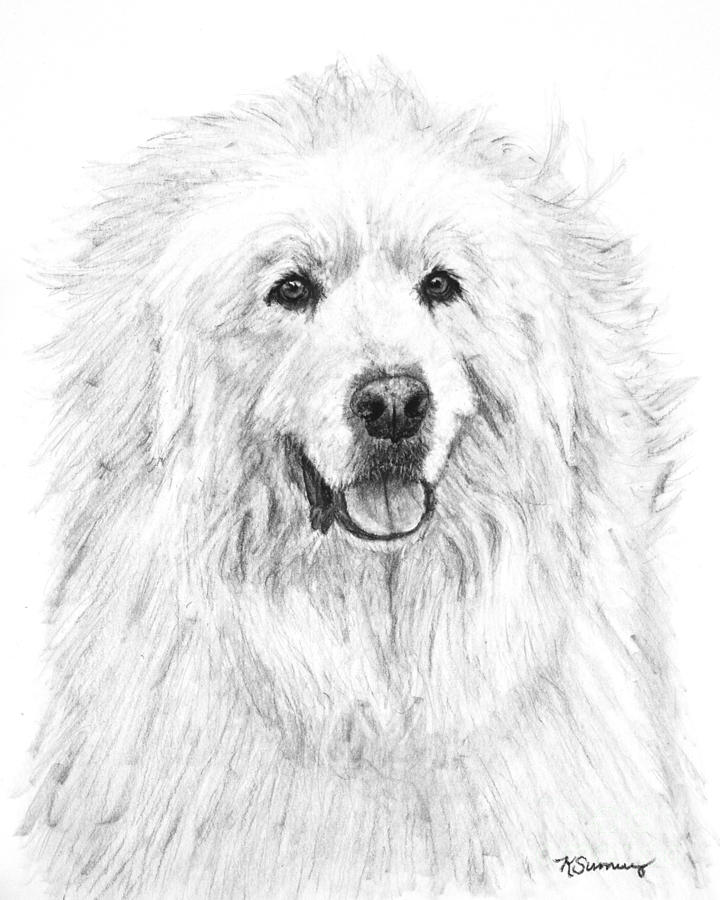 720x900 Great Pyrenees Study Drawing By Kate Sumners