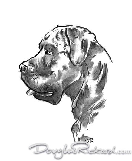 436x532 Cane Corso Drawing Douglas Rickard