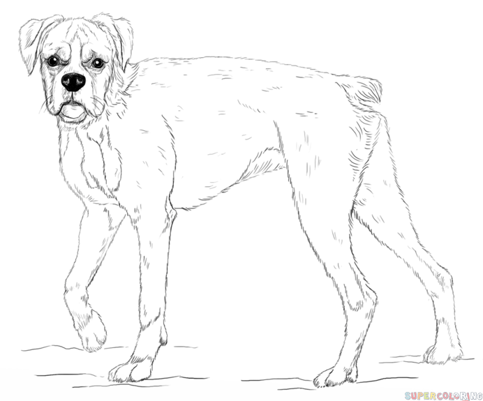 692x575 Drawn Pitbull Boxer Dog