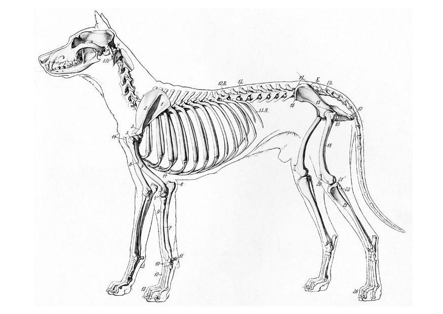 875x620 Coloring Page Dog Skeleton