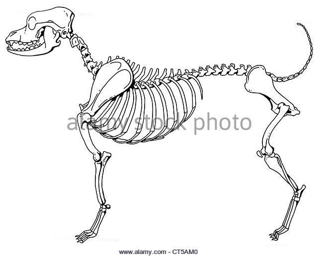640x518 Dog Skeleton Stock Photos Amp Dog Skeleton Stock Images