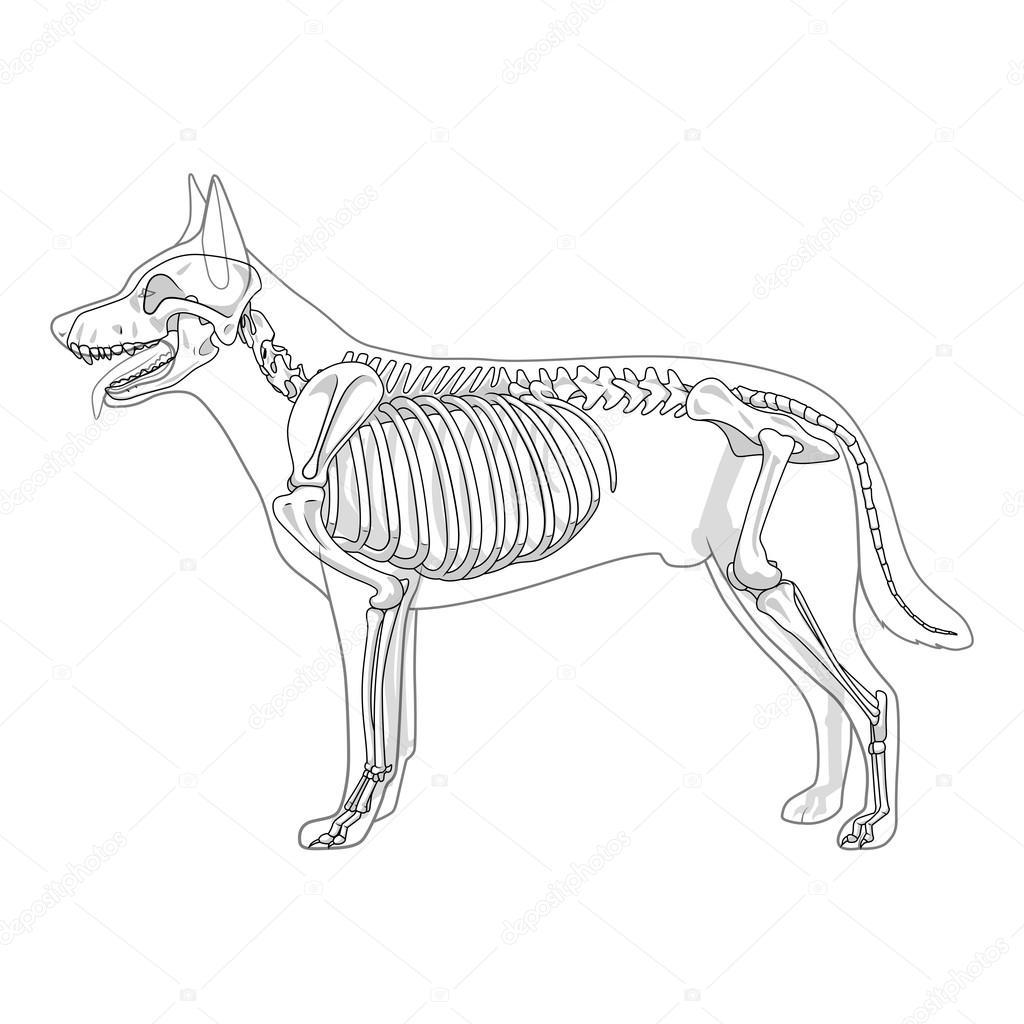 1024x1024 Dog Skeleton Veterinary Vector Illustration Stock Vector