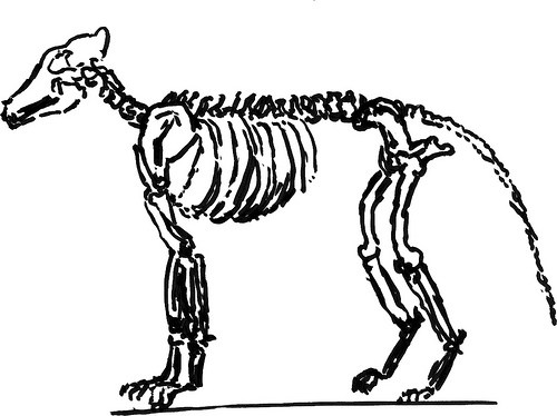 500x374 Drawing A Dog Skeleton, Part 2 So Much To Do, So Little Time