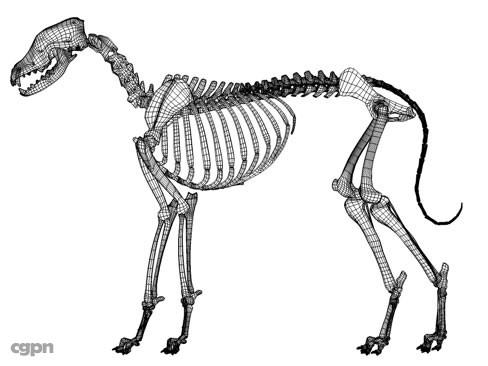 488x366 Generic Dog Skeleton 3d Model
