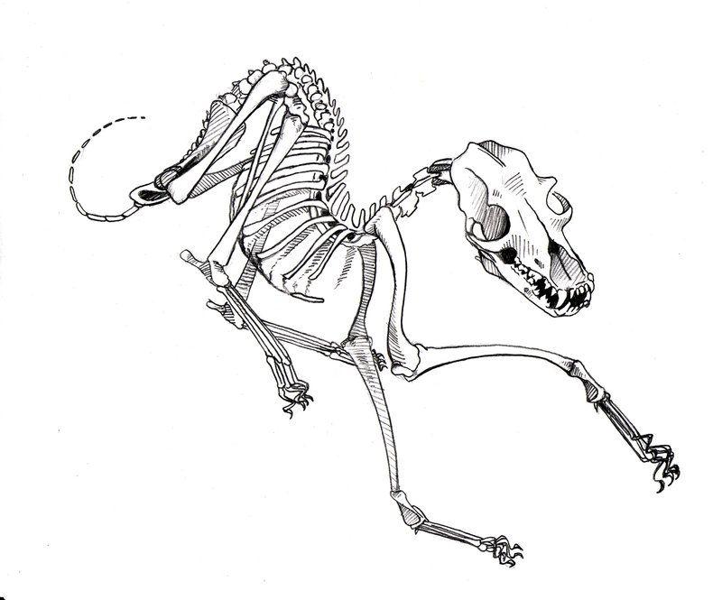 800x665 I Like The Idea Of A Dog Skeleton Tattoo On My Spine Tattoo