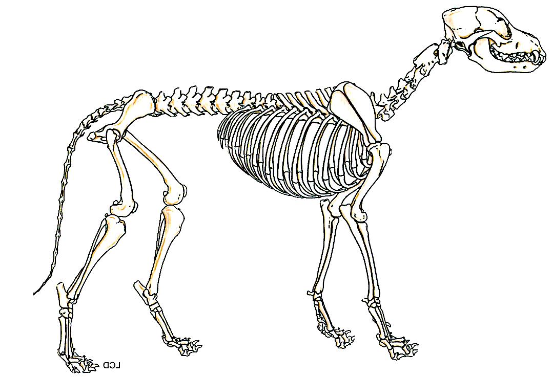 1077x737 The Evolutionary Development Of The German Shepherd Dog Skeleton