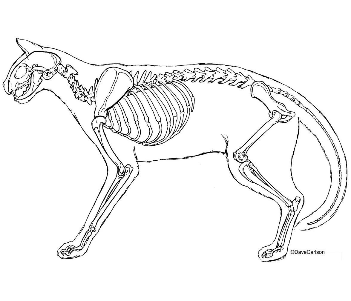 Dog Skeleton Drawing at GetDrawings.com | Free for personal use Dog ...
