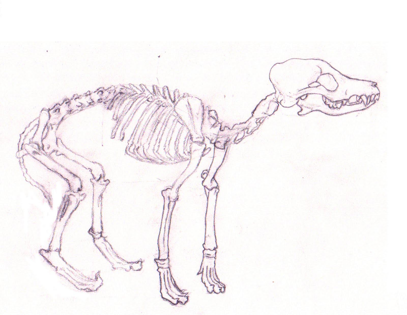 1600x1236 Bryce Atkinson Life Drawing Dog Skeleton