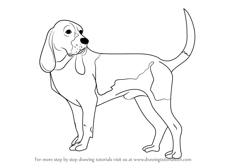 800x566 Learn How To Draw A Hound Dog (Dogs) Step By Step Drawing Tutorials