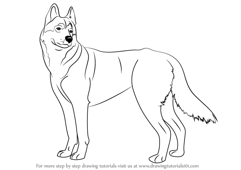800x567 Learn How To Draw A Husky (Dogs) Step By Step Drawing Tutorials