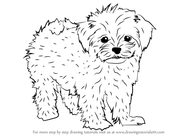 800x566 Learn How To Draw A Maltese (Dogs) Step By Step Drawing Tutorials