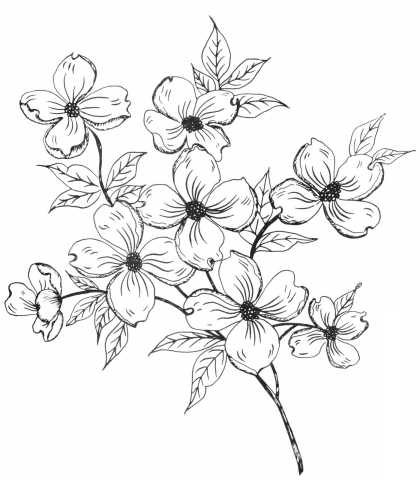 Dogwood Blossom Drawing At Getdrawings Com Free For Personal Use