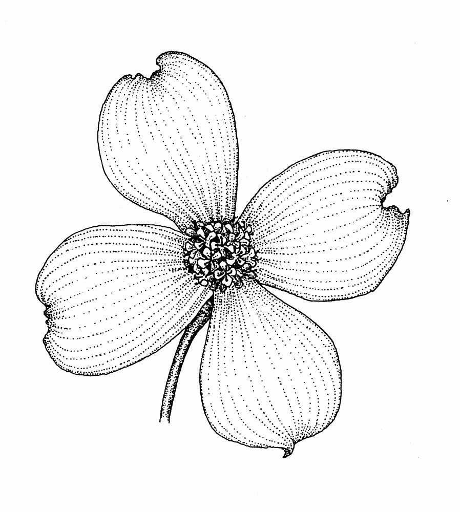 dogwood blossom drawing at getdrawings com free for personal use rh getdrawings com dogwood blossom clipart dogwood tree clipart
