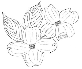 Dogwood Drawing