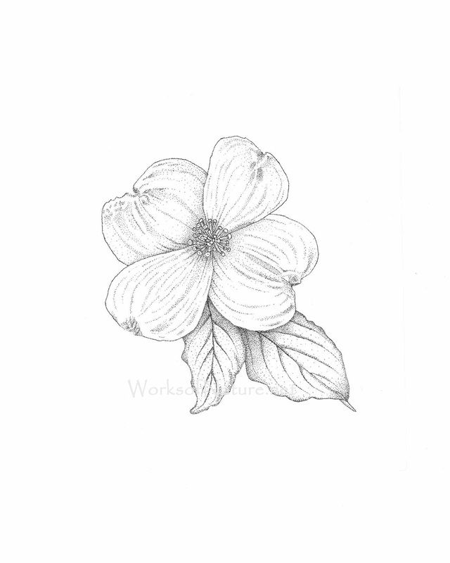 640x800 Pen And Ink Dogwood Flower