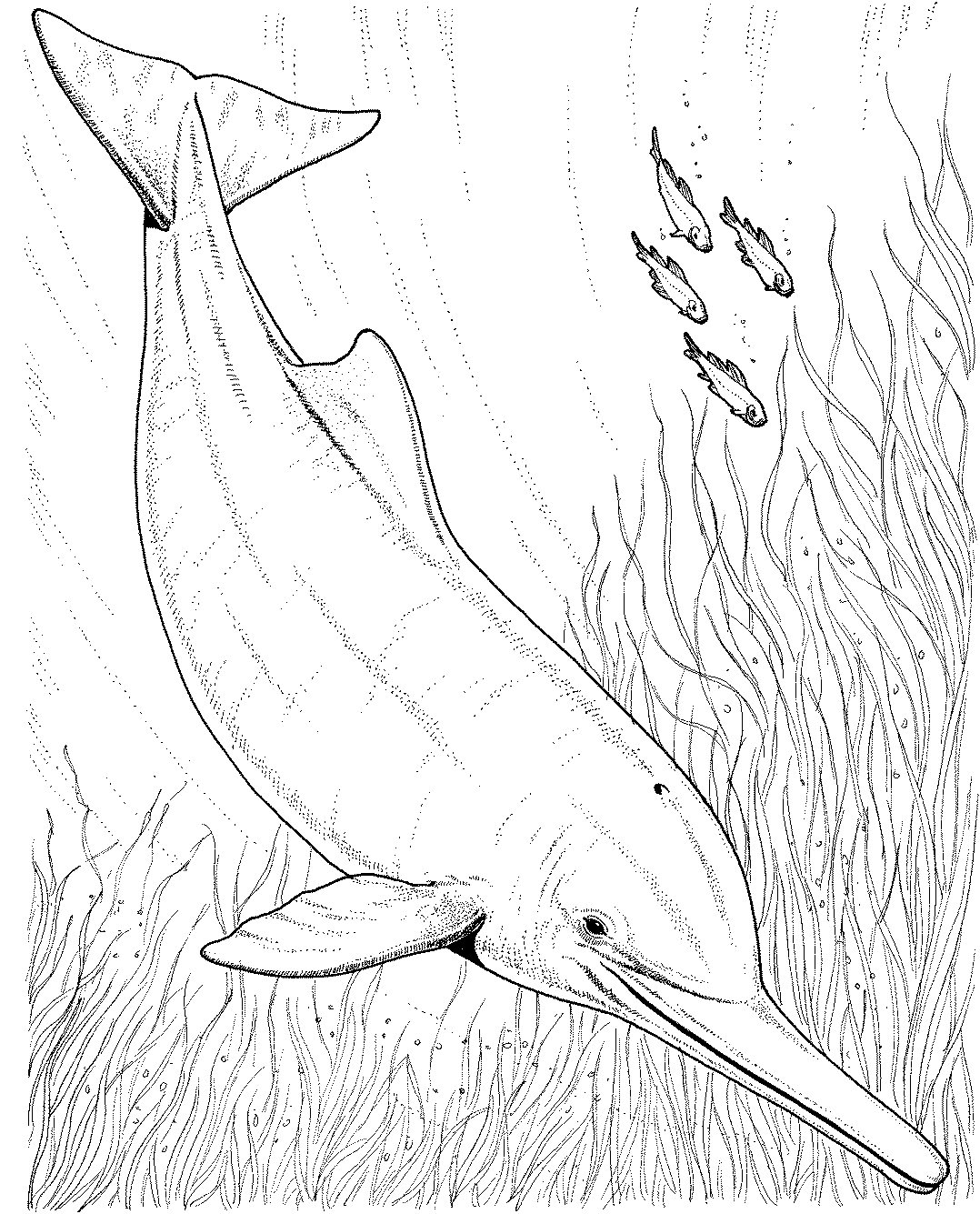 1078x1335 Dolphin Coloring Pages