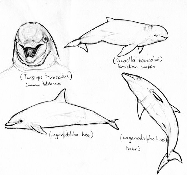 600x563 Dolphin Sketches 2 By Amorousdino