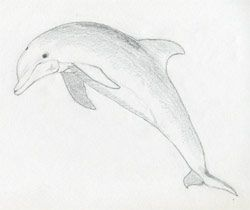Dolphin Pencil Drawing