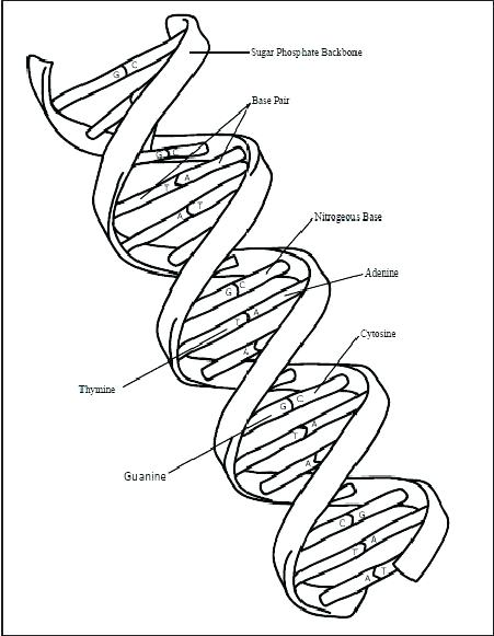 451x581 Dna Coloring Sheet Replication Coloring Worksheet Replication