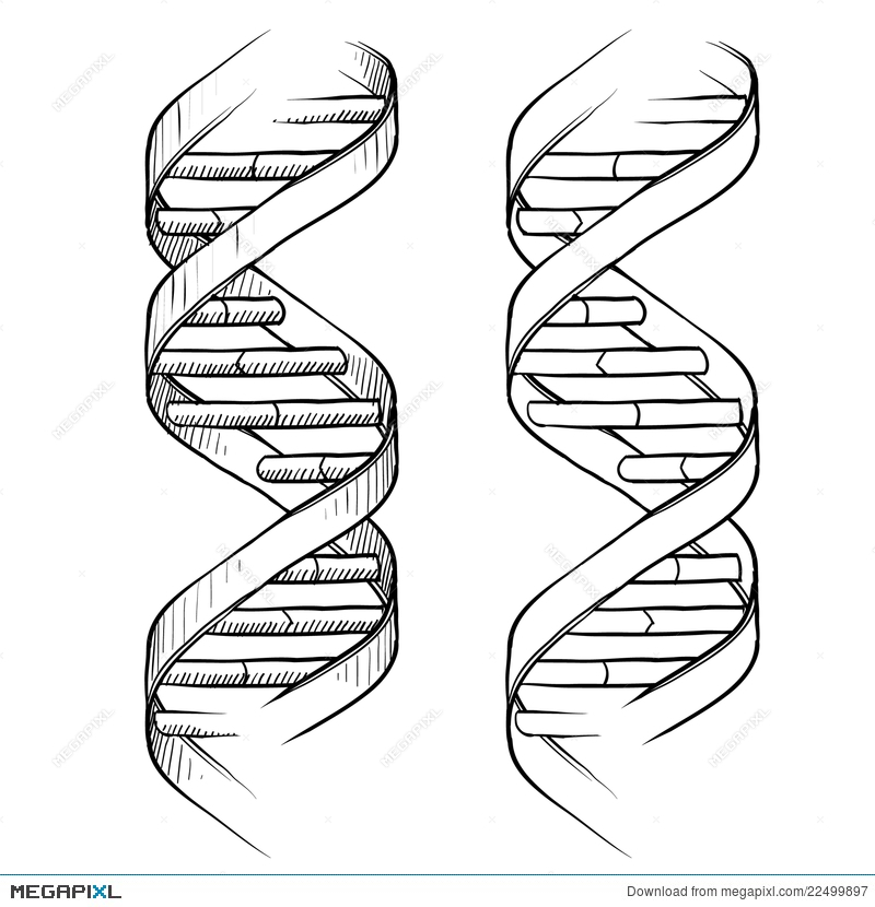 800x830 Dna Double Helix Drawing Illustration 22499897