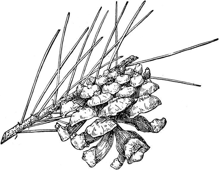 Douglas Fir Drawing