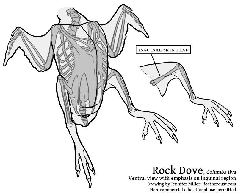 800x651 Rock Dove