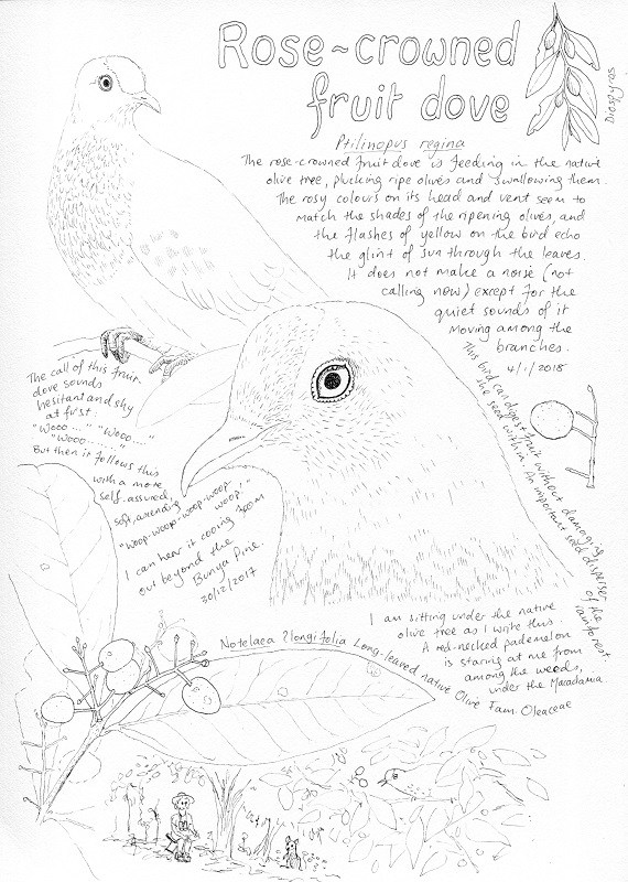 570x800 Rose Crowned Fruit Dove Nature Study Paperbark Writer