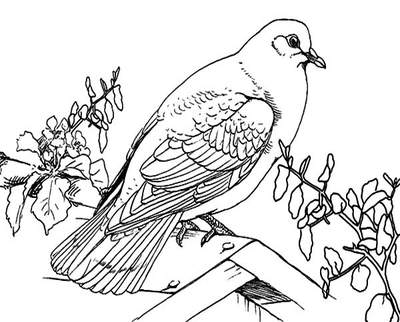 400x322 Big Dove Coloring Page Bird Picture Pages For