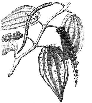 312x349 Botanic Peppercorn