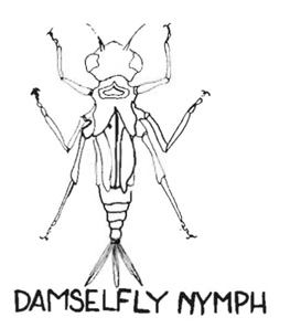 263x297 Damselfly Nymph Drawing