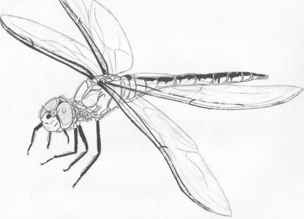 600x432 Dragonfly Sketch By Tattoo