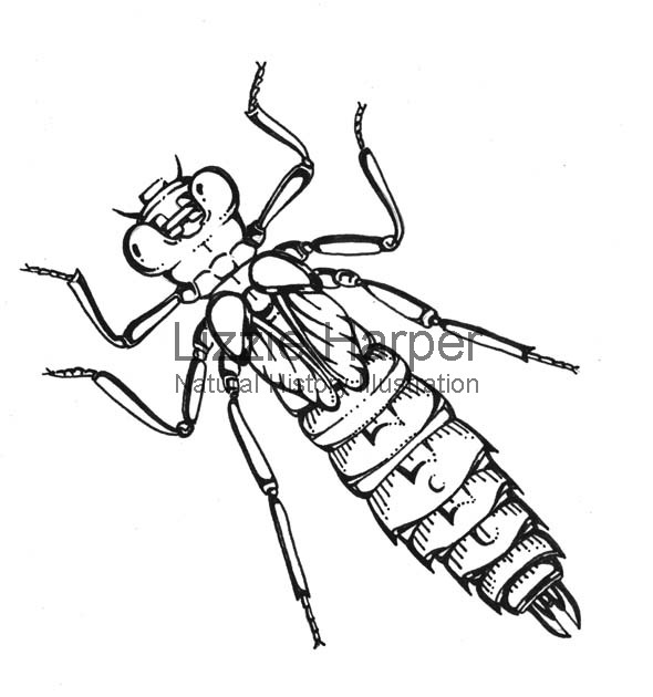 590x630 Prototype Dragonfly Nymph Lizzie Harper Illustration Botanical