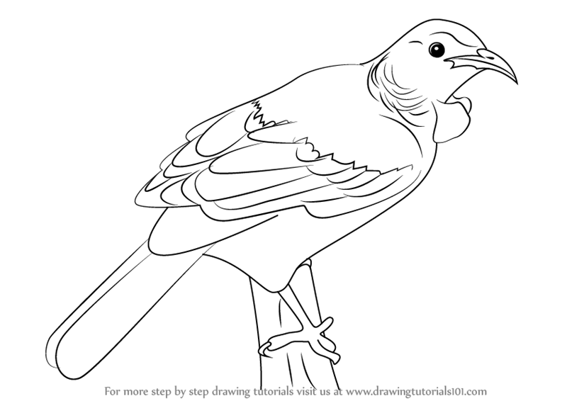 800x566 Learn How To Draw A Tui Bird (Birds) Step By Step Drawing Tutorials