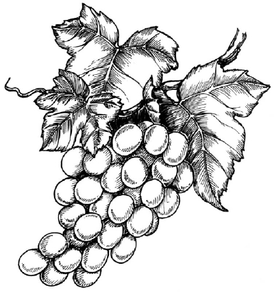 400x425 How To Draw Grapes Howstuffworks