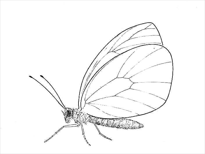 Drawing Pictures Of Butterflies