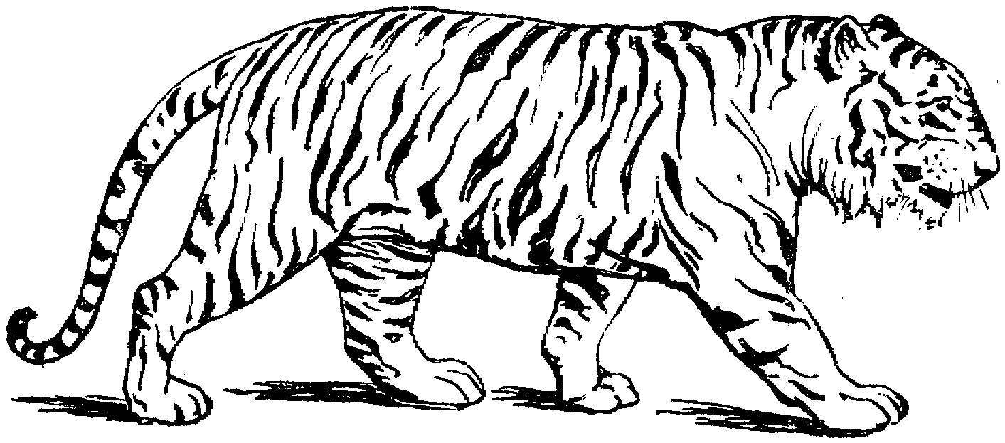 Drawing Pictures Of Tigers At Getdrawings Com Free For Personal