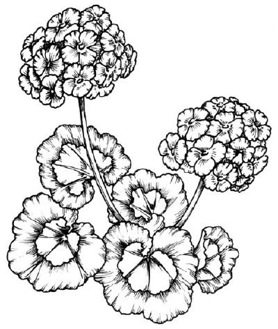 400x472 How To Draw A Geranium Howstuffworks