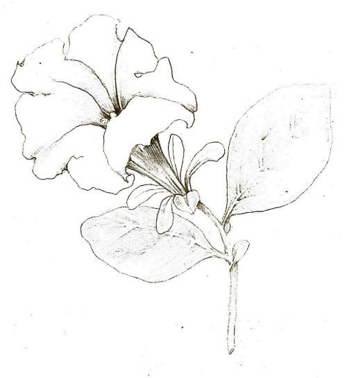 500x545 Tutorial Botanical Drawing With Pencil And Watercolor