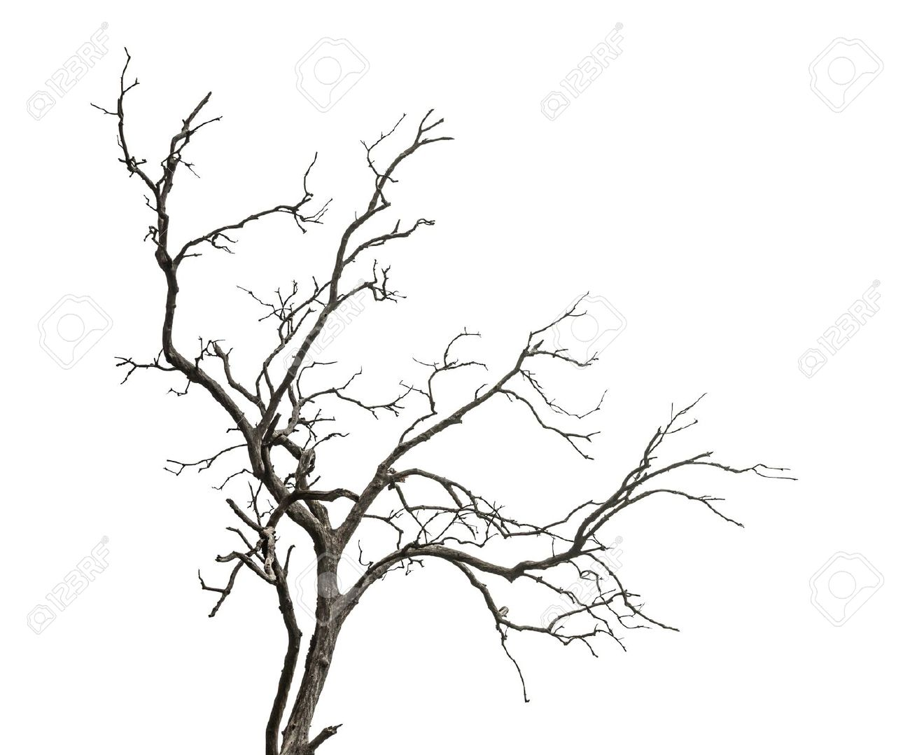 1300x1078 Dead Tree Isolated On White Background Stock Photo, Picture