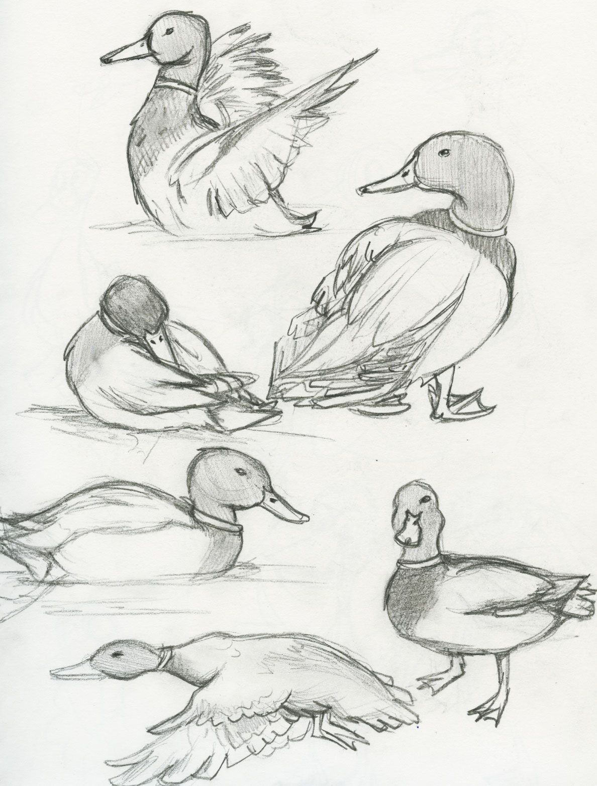 1188x1564 Mallard Duck The Ebestiary Tattoo Ideas For Sam