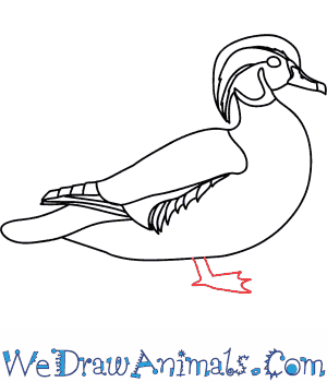 300x350 How To Draw A Wood Duck