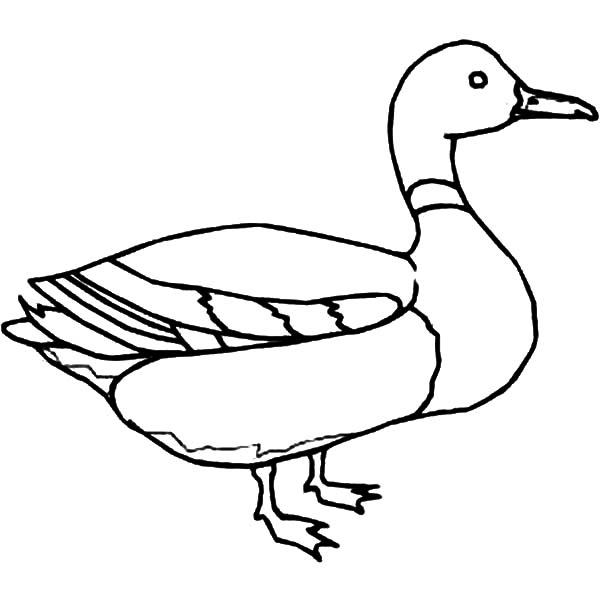 600x600 Mallard Duck Outline Coloring Pages Color Luna