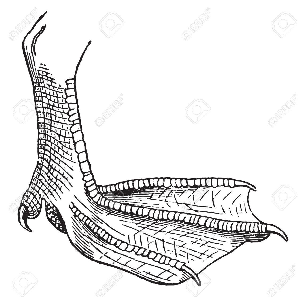 1300x1263 Webbed Foot, Vintage Engraved Illustration. Natural History