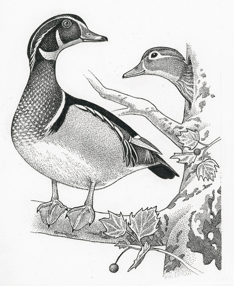 818x1000 Wood Ducks On The Potomac Birdnote