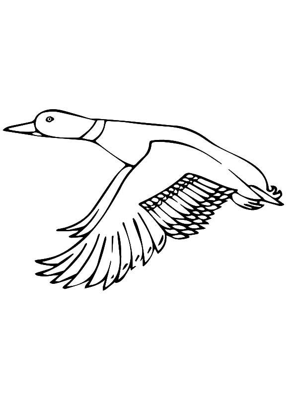 600x800 Drawing Mallard Duck Coloring Pages Color Luna