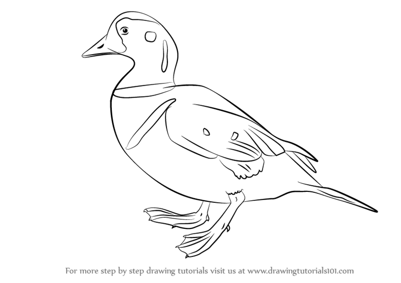 800x565 Learn How To Draw A Harlequin Duck Birds Step By Drawing